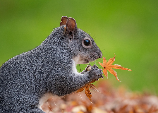 A squirrel holds a leaf up to its face, with vibrant green grass in the background.